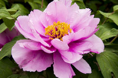 Peony flower. Blooming peony flowers of spring in the park, very beautiful Stock Photos