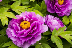 Peony flower. Blooming peony flowers of spring in the park, very beautiful Royalty Free Stock Image