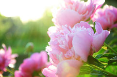 Peony flower blossoming in sun rays. Pink peony flower blossoming in the sun rays royalty free stock images