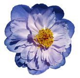Peony flower blue-pink on a white isolated background with clipping path. Nature. Closeup no shadows. Stock Photography