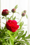 Peony flower. Bouquet of peony flower with buds Stock Photos