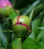 Peony flower in bud with ants royalty free stock photos