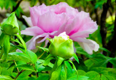 Peony flower bud and Blooming flower royalty free stock photos
