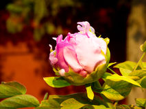 Peony flower bud Stock Images