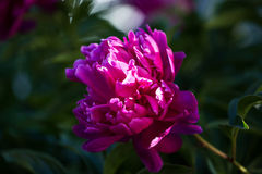 Peony flower, close-up Stock Images