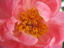 Peony Flower Close Up Stock Images