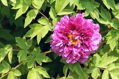 Peony flower Stock Image