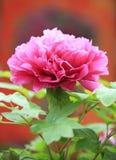 Peony flower Royalty Free Stock Photos