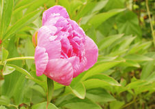 The peony flower. In the countryside Stock Photo