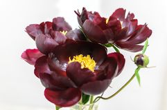 Peony flower of dark burgundy color on white background.  royalty free stock photography