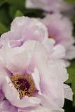 Peony flower detail close up Stock Image