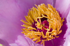 Peony flower details Royalty Free Stock Image