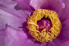 Peony flower details Stock Image