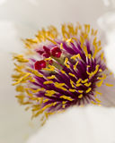 Peony flower details Stock Photography