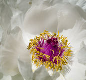 Peony flower details Stock Images