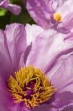 Peony flower details Stock Photo