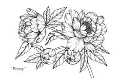 Peony flower drawing and sketch. Peony flower drawing and sketch with line-art on white backgrounds Stock Images