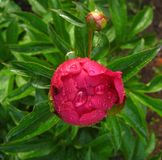 The peony flower in the drops of dew Royalty Free Stock Image