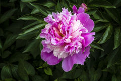 Peony flower. The peony is a flowering plant in the genus Paeonia, the only genus in the family Paeoniaceae. They are native to Asia, Southern Europe and Western royalty free stock images