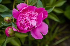 Peony flower. Peony is a flowering plant in the genus Paeonia stock photo