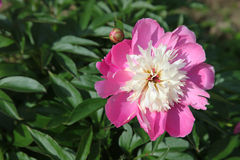 The Peony Flower. Flowering plant Root Mary.  royalty free stock photo