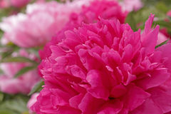 Peony flower in garden Royalty Free Stock Photography