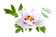 Peony Flower with Green Leaves Stock Images