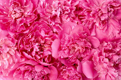 Peony flower heads. Pink peony flower heads - background royalty free stock image