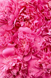 Peony flower heads - background. An image of peony flower heads - background royalty free stock photo
