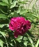 The peony flower under the sun! royalty free stock photo