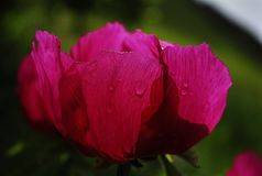 Peony flower with intense color royalty free stock images