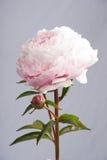 Peony. Flower isolated on light backdrop Stock Photo