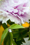 Peony Flower and its Leaves Stock Photography