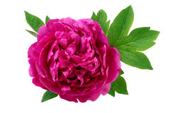 Peony flower with leaves closeup Stock Photography