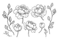 Peony flower and leaves drawing. Vector hand drawn engraved flor. Al set. Botanical rose, branch and berry Black ink sketch. Great for tattoo, invitations vector illustration