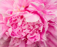 Peony flower macro view Stock Photos