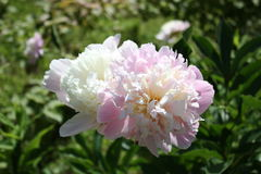 Peony, flower, paeon, garden, flora Stock Photo