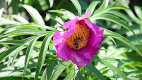 Peony flower paeonia and bee in wild nature - macro stock video footage