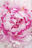 Peony flower and petals Stock Photography
