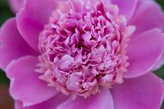 Peony flower. Pink peony flower macro shot Stock Photos