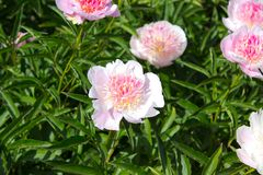 Peony flower pink Royalty Free Stock Photography