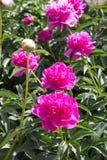 Peony flower pink Stock Image