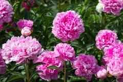 Peony flower pink Royalty Free Stock Image