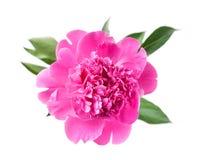 Peony flower. Pink peony flower on white Royalty Free Stock Photo