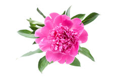 Peony flower. Pink peony flower on white Stock Images