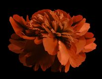 Peony flower red on isolated black background with clipping path no shadows. Close-up. For design. Stock Photo