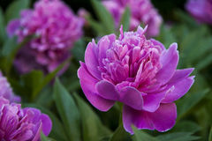 Peony flower rosa Royalty Free Stock Images