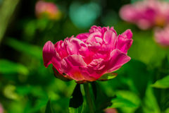 Peony flower Royalty Free Stock Image