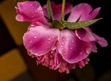 Peony flower after summer rain and thunderstorms stock image