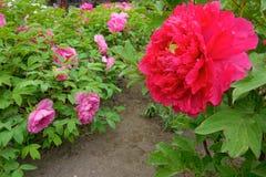 Peony flower Royalty Free Stock Photo